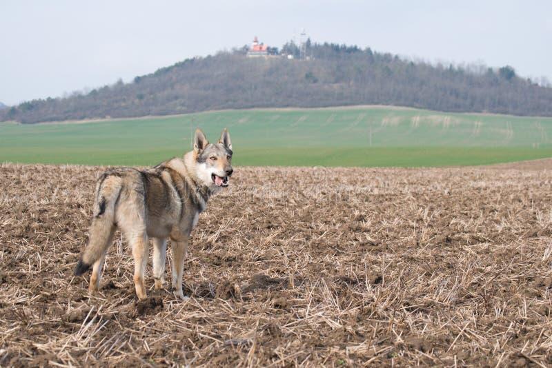 Wolfdog photos libres de droits
