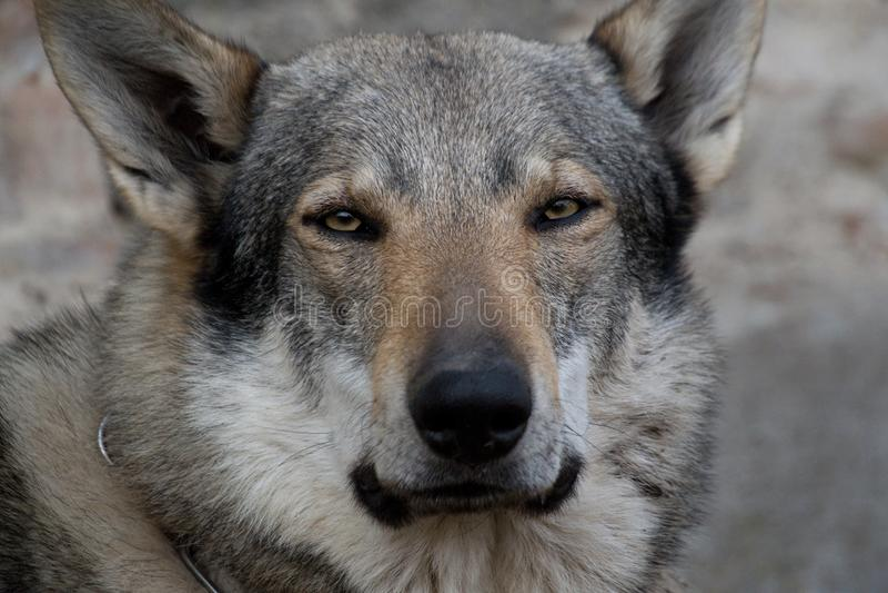 Wolfdog photographie stock libre de droits