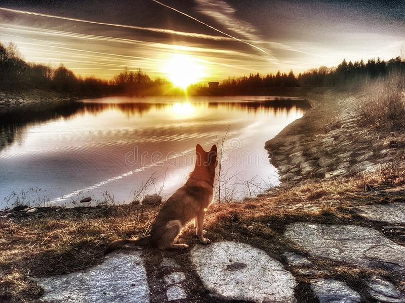 Wolfdog images stock