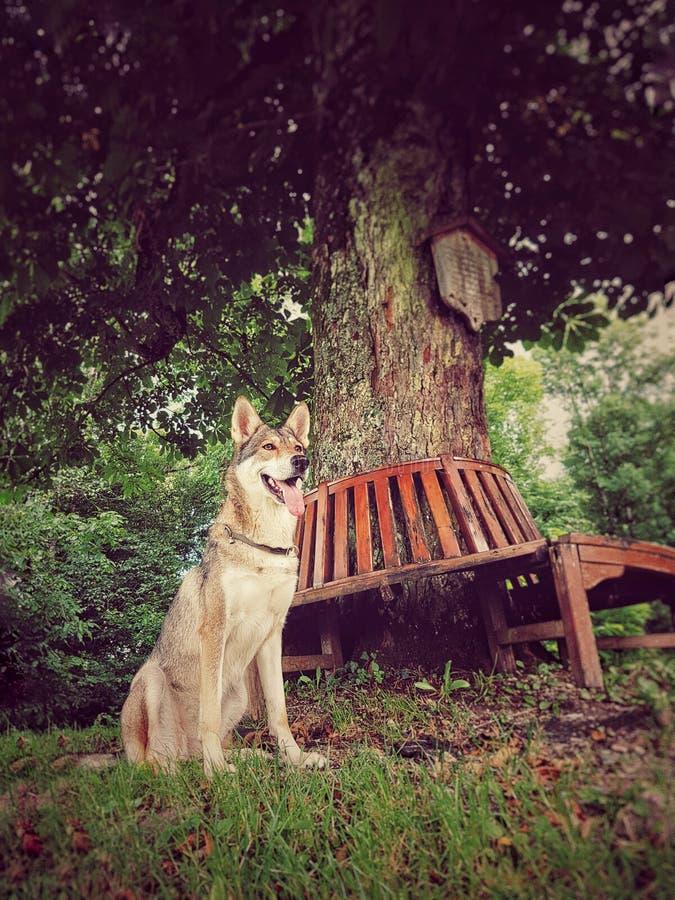 Wolfdog photo stock