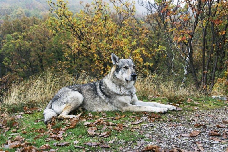 Wolfdog checoslovaco imagen de archivo