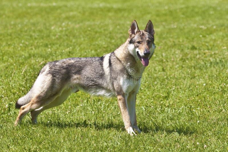 Wolfdog checoslovaco imágenes de archivo libres de regalías