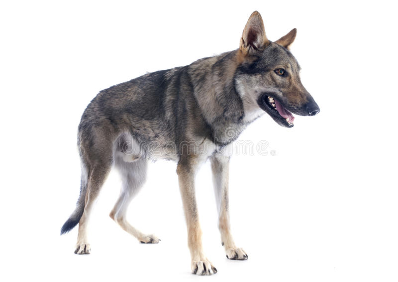 Wolfdog checoslovaco imagenes de archivo