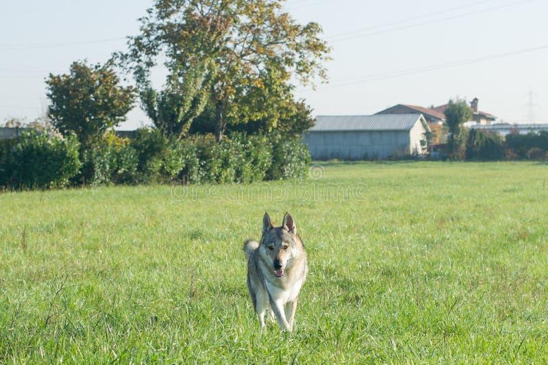 Wolfdog checoslovaco foto de archivo