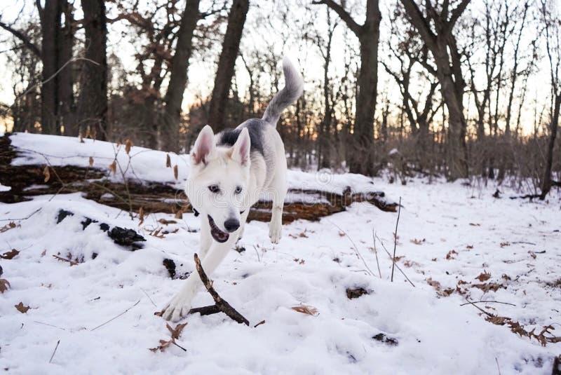 Wolfdog checoslovaco domesticado en un campo hermoso blanco del bosque fotos de archivo