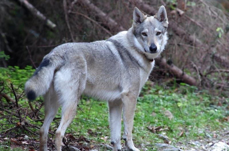 Wolfdog Czechoslovakian fotografia de stock royalty free