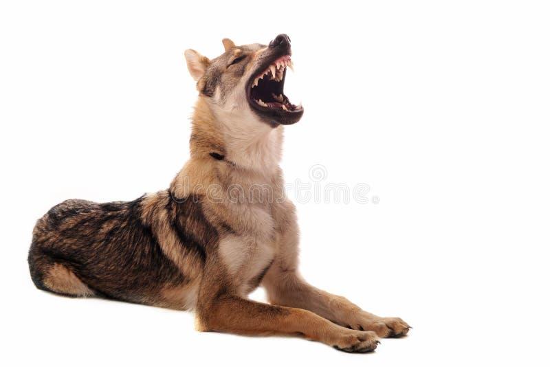 Wolfdog Czechoslovakian fotos de stock