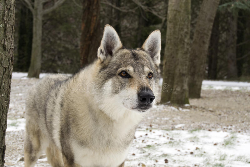 Wolfdog Czechoslovakian fotos de stock royalty free