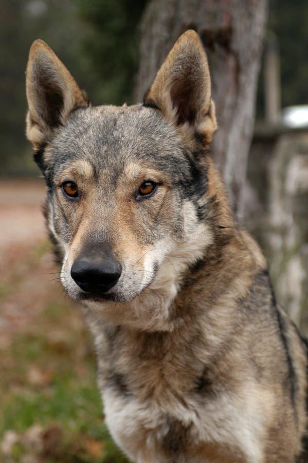 Wolfdog Czechoslovakian foto de stock