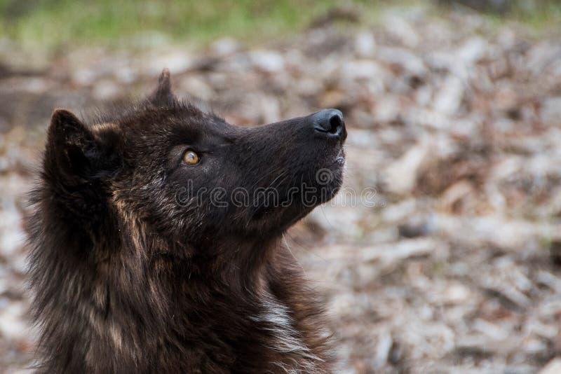 Wolfdog in het hout royalty-vrije stock afbeelding