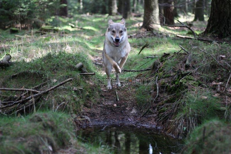 Wolfdog tchécoslovaque dans la forêt images libres de droits