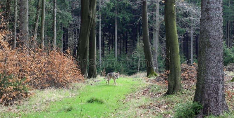 Wolfdog tchécoslovaque dans la forêt photographie stock