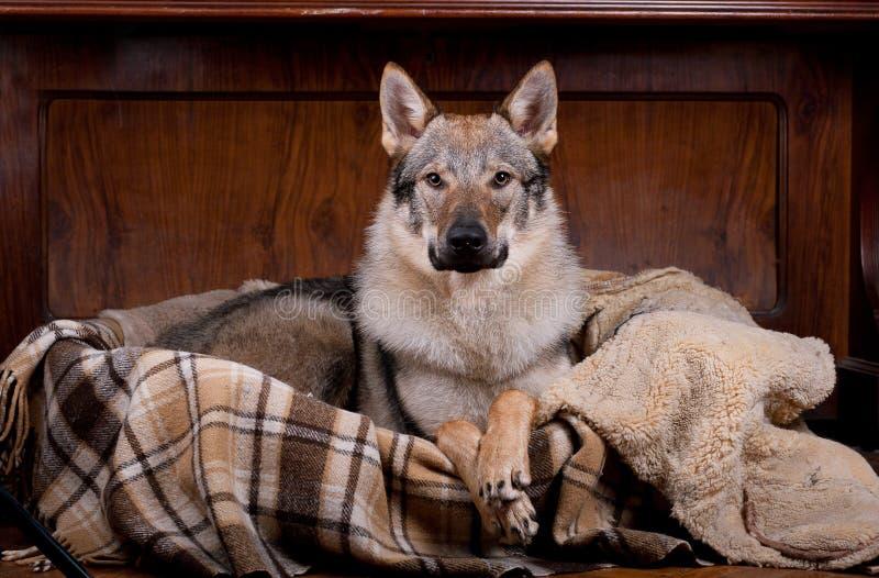 Wolfdog thuis royalty-vrije stock foto's