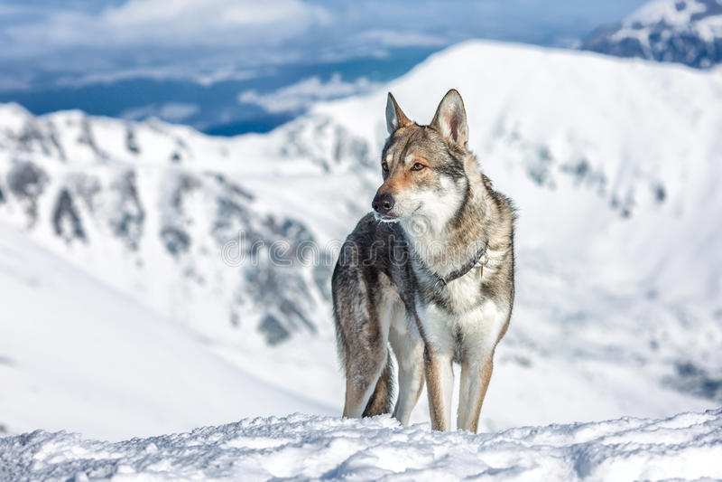 Wolfdog in winter. Saarloos Wolfdog in winter mountains stock photo