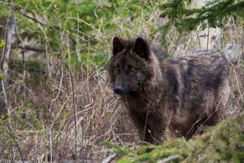 Wolfdog in the woods. Black wolfdog in Canadian bush