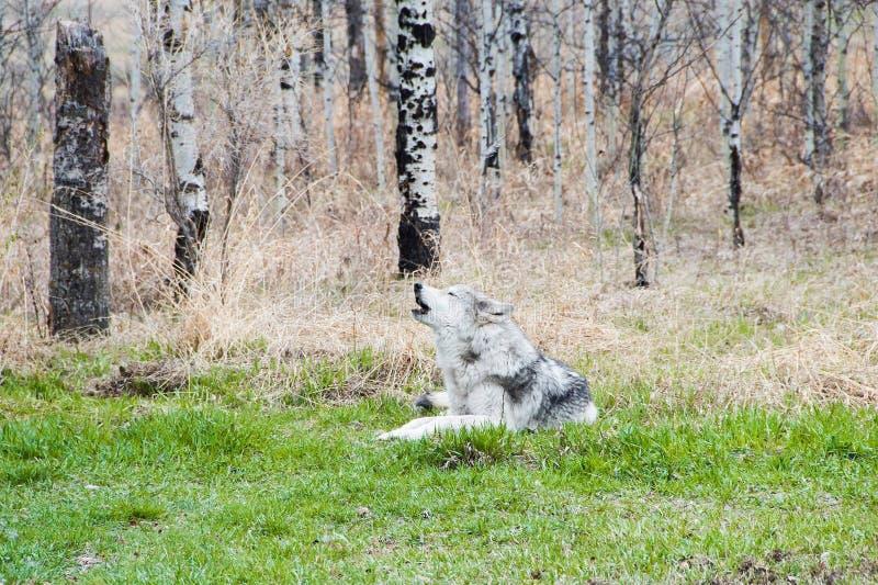 Wolfdog in the woods. Grey wolfdog howling in Canadian bush