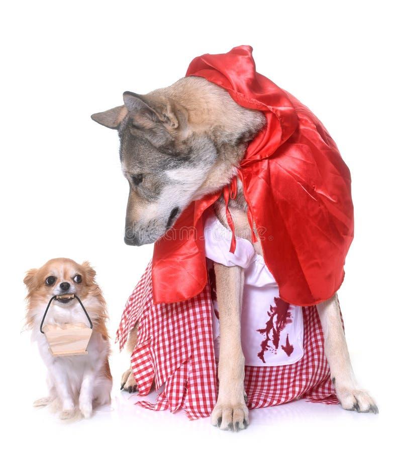 Wolfdog y chihuahua vestidos de Saarloos foto de archivo
