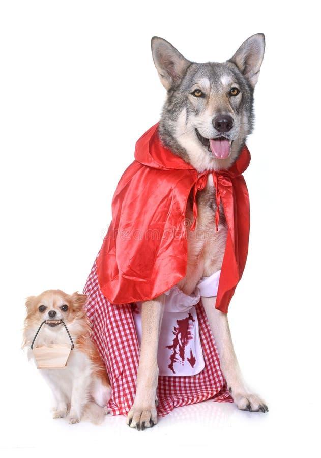 Wolfdog y chihuahua vestidos de Saarloos imagen de archivo libre de regalías