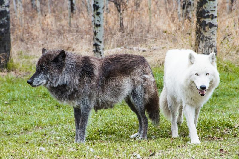 Wolfdogs in het hout stock afbeelding