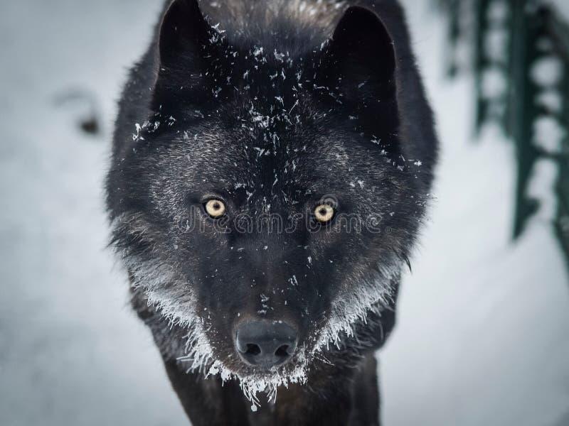 Wolfe preto na neve imagem de stock