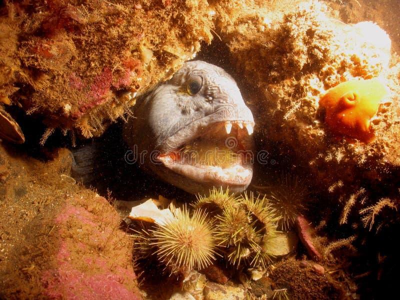 Wolffish eating urchin. Atlantic Wolffish eating urchin stock image