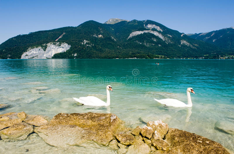 Wolfgangsee in Austria. Yellow rocks on the shore of the Wolfgangsee in Austria, with two swans swimming by stock photos