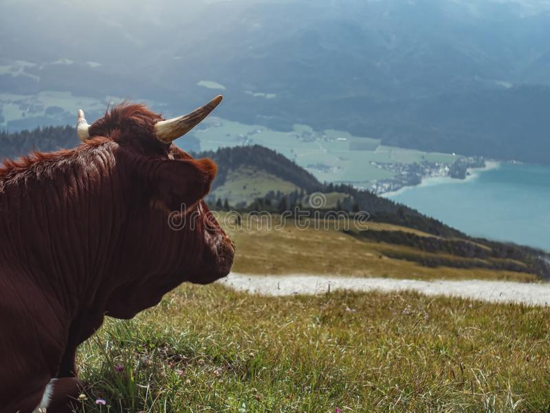 Wolfgangsee Lake, Austria with cow. Cow overlooking Wolfgangsee Lake in Austrian mountains on sunny day royalty free stock images