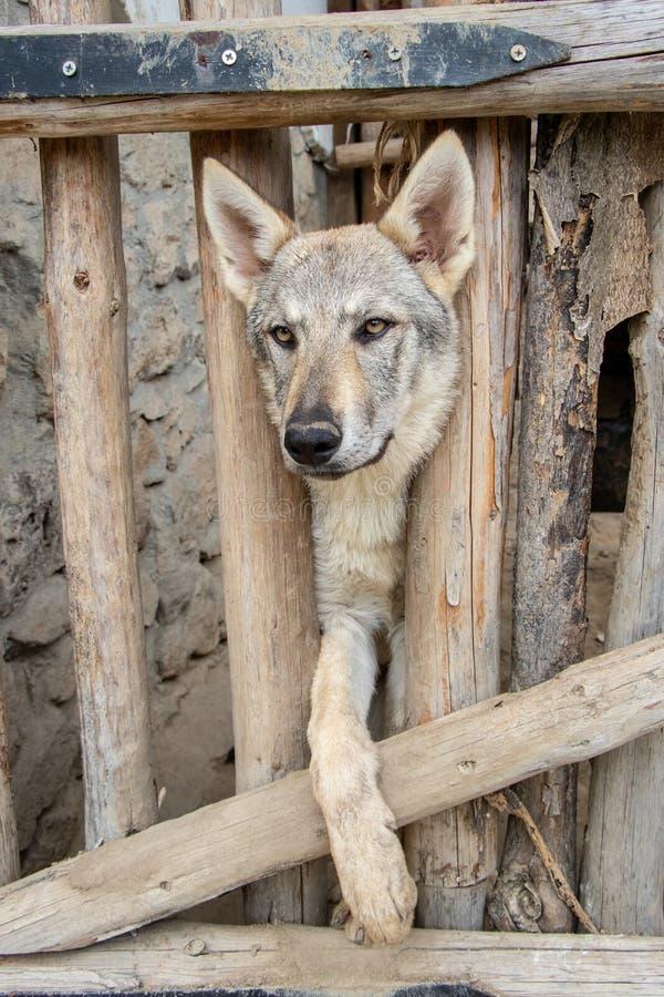 Wolfhound породы собаки стоковые фото