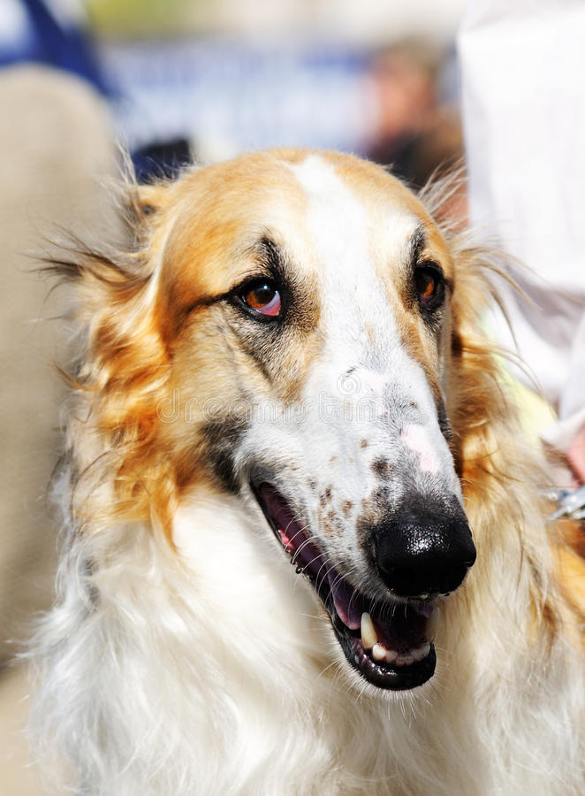 wolfhound русского портрета стоковая фотография rf