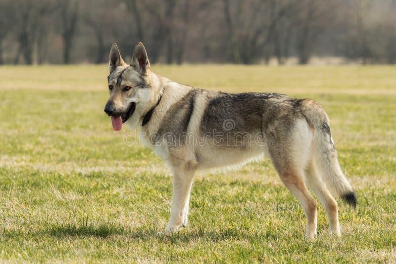 Wolfhound чеха играет снаружи в луге стоковые фото
