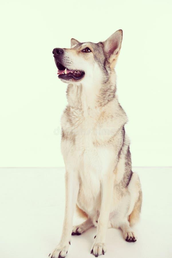 wolfhound arkivfoton