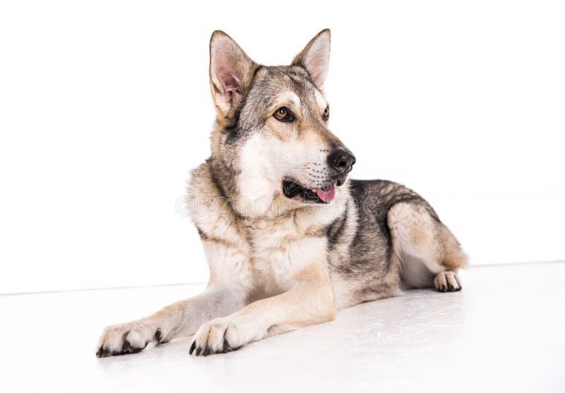 wolfhound arkivfoto