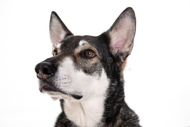 wolfhound royaltyfria foton