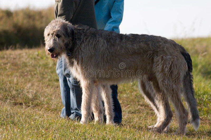 Wolfhound imagens de stock