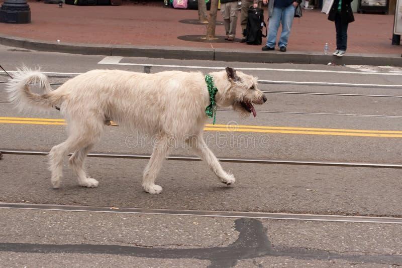 wolfhound royaltyfri bild