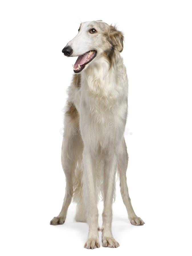 wolfhound för ryss för 15 borzoimånader royaltyfria foton