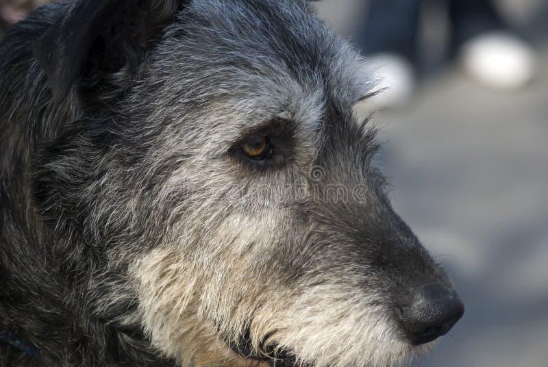 Wolfhound irlandés imágenes de archivo libres de regalías