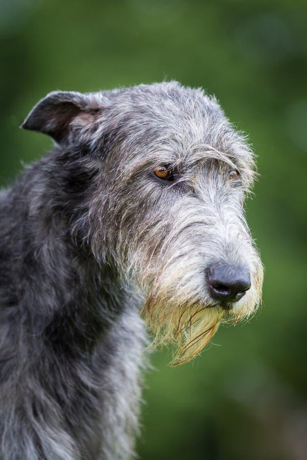 Wolfhound irlandés fotos de archivo libres de regalías