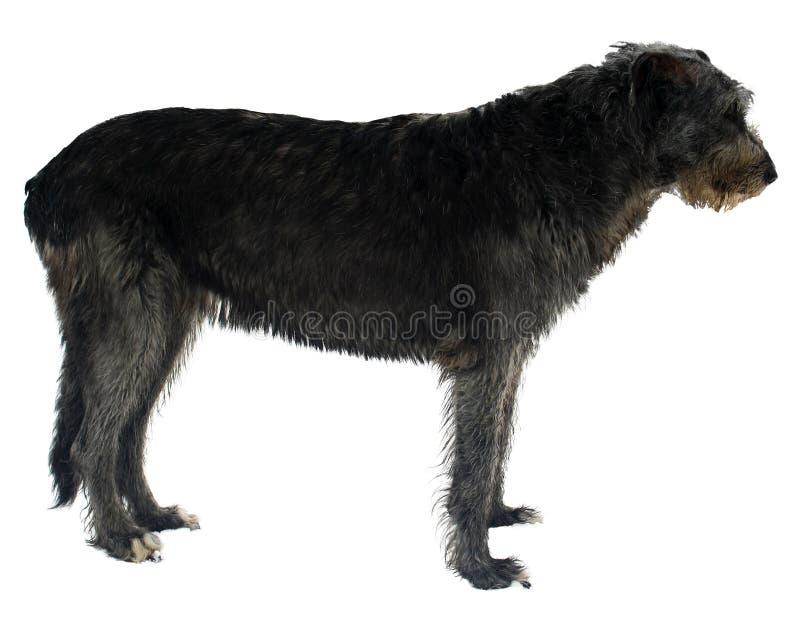 Wolfhound irlandés foto de archivo libre de regalías