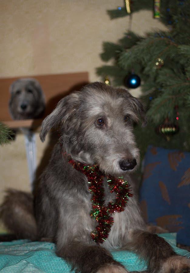 Wolfhound irlandês imagens de stock royalty free