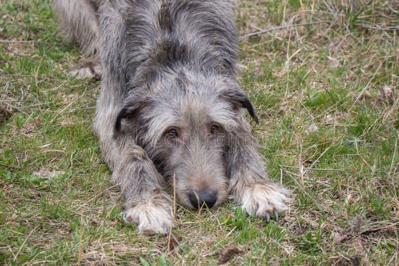 Wolfhound irlandais photographie stock libre de droits