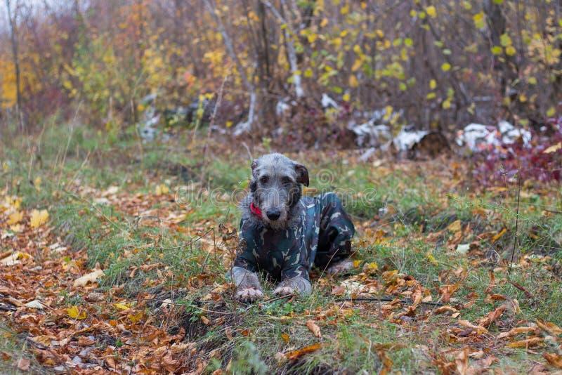 Wolfhound irlandais photographie stock