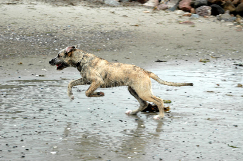 Wolfhound Run. Young irish wolfhound runs on a wet beachshore royalty free stock images