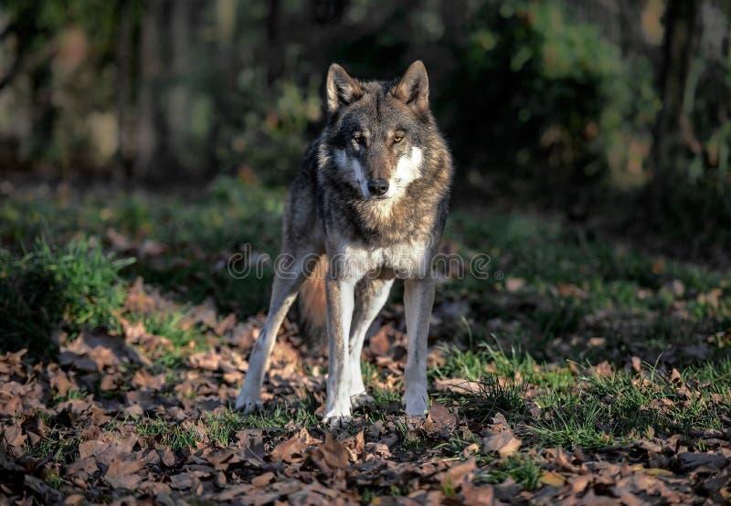Wolfporträt lizenzfreie stockfotografie