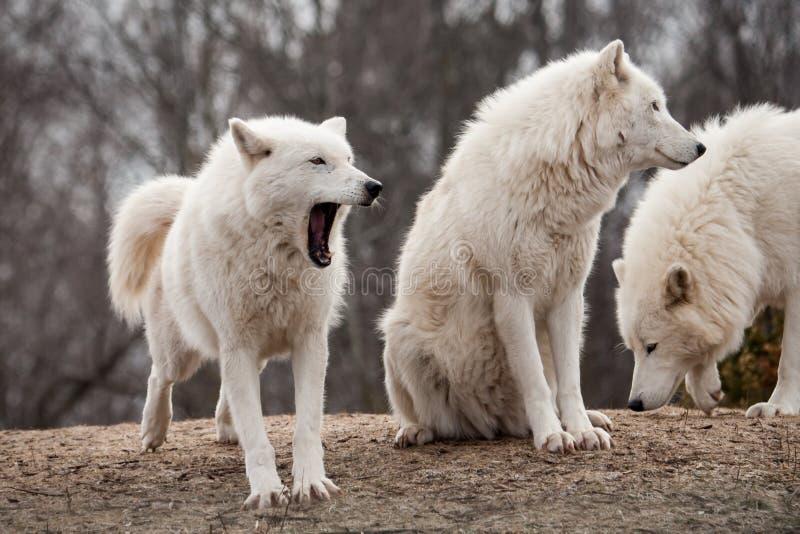 Wolfs árticos fotografía de archivo