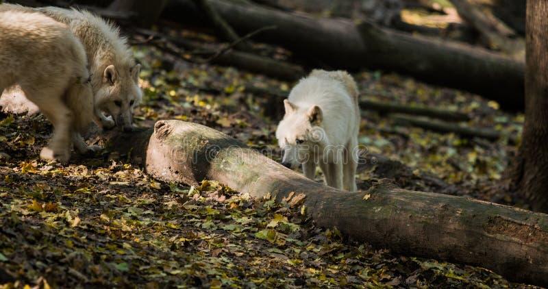 Wolfs con l'albero immagine stock libera da diritti