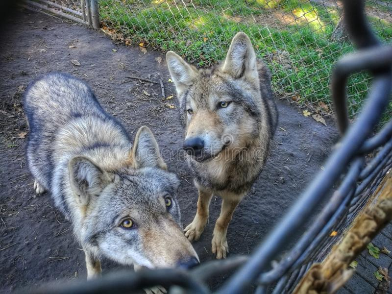 Wolfs dans le zoo en Hongrie image stock