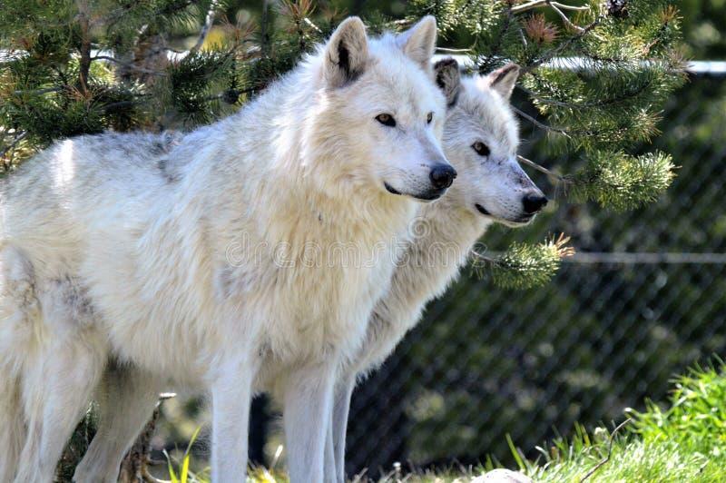 Wolfs gris photo libre de droits