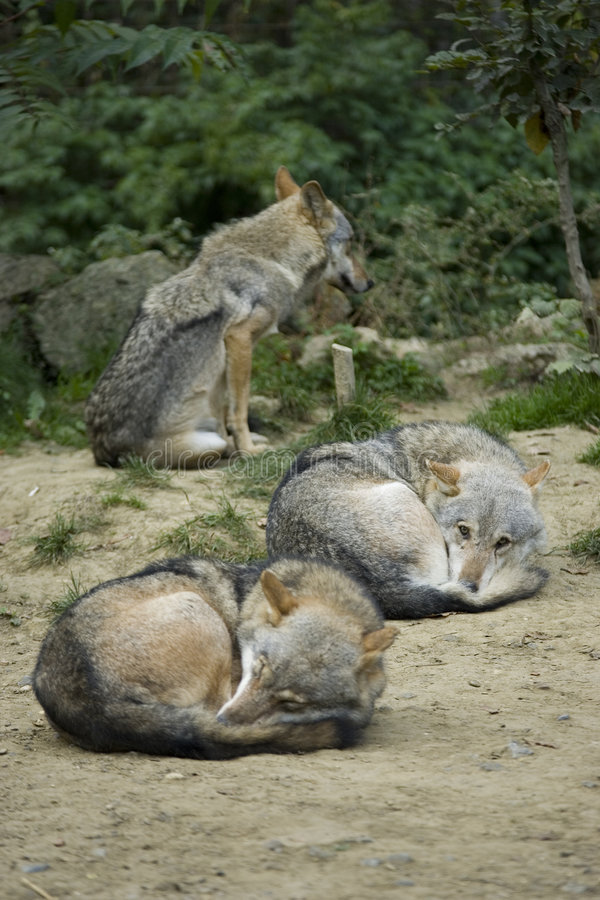 Wolfs gris photographie stock