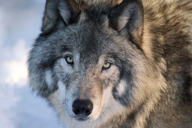 Wolfsgezicht stock foto's